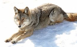 sleeping coyote Stock Photo
