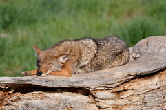 Sleeping coyote on a log Royalty Free Stock Images