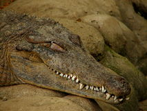 Sleeping Crocodile Stock Photography
