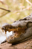 Sleeping Crocodile Royalty Free Stock Photo