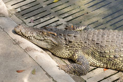 Sleeping crocodile Stock Photos