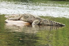 The sleeping crocodile in lake stock image