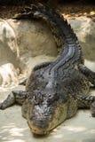 Sleeping crocodile Royalty Free Stock Image