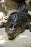 Sleeping crocodile Stock Image