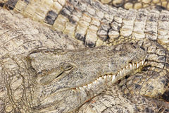Sleeping crocodiles Stock Image