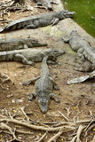 Sleeping crocodiles on crocodile farm Stock Photography