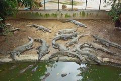 Sleeping crocodiles on crocodile farm Stock Photo