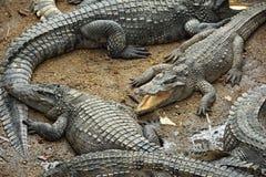 Sleeping crocodiles on crocodile farm Royalty Free Stock Photography