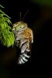 Sleeping cuckoo bee Royalty Free Stock Photo