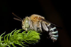 Sleeping cuckoo bee Royalty Free Stock Photo