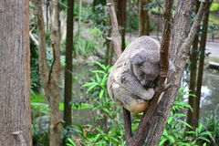 Sleeping Cuddly Koalas. Koalas in Currimbin Wildlife Sanctuary in GoldCoast, Australia Royalty Free Stock Photos