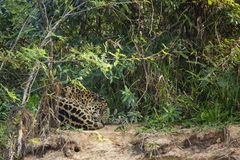 Sleeping,Curled up Jaguar Resting in Jungle. This beautiful sleeping jaguar is resting curled up in the weeds, grasses and bushes on a sandy brown ledge in the Royalty Free Stock Photo