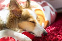 Sleeping Cute Dog. This cute tired dog (sheltie, shetland sheepdog) sleeps in her bed Royalty Free Stock Images