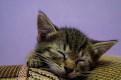 Sleeping cute gray kitten close up. Pretty little cat whiskered cat sleeping at home Stock Photos