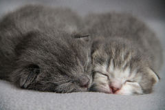 Sleeping Cute Kittens. Pair of Sleeping Cute Kittens at Blurred Background Stock Photos