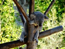 Free Sleeping Cute Koala On A Tree Stock Photo - 125500980