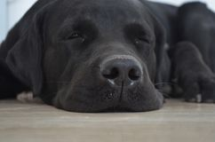 Sleeping cute labrador dog royalty free stock image