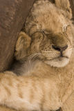Sleeping cute lion cub Stock Images