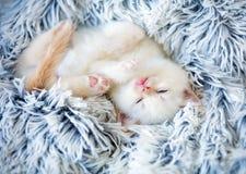 Sleeping cute little color point kitten royalty free stock photos
