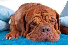 Sleeping cute puppy Stock Photos