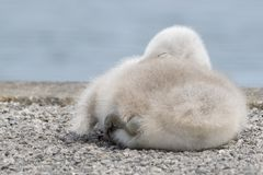 A sleeping cygnet royalty free stock image