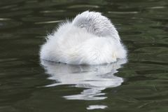 A sleeping cygnet royalty free stock photos