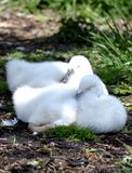 Sleeping Cygnets royalty free stock photography