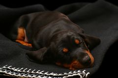 Sleeping dachshund Royalty Free Stock Image