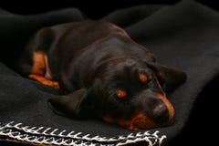Sleeping dachshund Royalty Free Stock Image