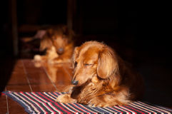 Sleeping dachshund Royalty Free Stock Photography