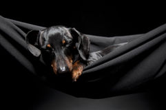 Sleeping dachshund Stock Photos