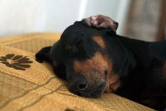 Sleeping dachshund dog head Royalty Free Stock Image