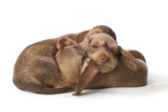 Sleeping dachshund puppies Stock Image