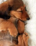 Sleeping dachshund puppy stock images