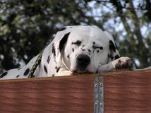 Sleeping Dalmatian. A Dalmatian sleeping Royalty Free Stock Photos