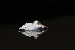 The sleeping Dalmatian Pelican Royalty Free Stock Photo