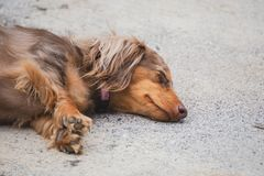 Sleeping Dapple Doxie or Dapple Dachshund. Adorable dapple dachshund, or longhaired weiner dog, napping peacefully outside stock photo