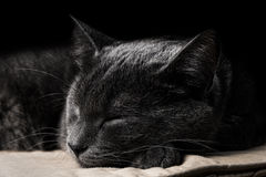 Sleeping dark gray cat Royalty Free Stock Images