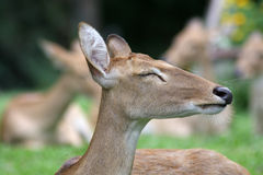 Sleeping deer Royalty Free Stock Images