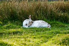 Sleeping deer Stock Photography