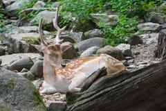 Sleeping deer. A deer sleeping in a forest Royalty Free Stock Image