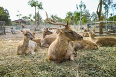 Sleeping deers. Deers are sitting and sleeping together in the zoo stock photography