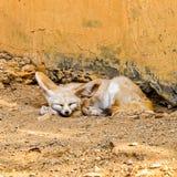 Sleeping Desert Fox Royalty Free Stock Photography