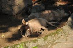 Sleeping Desert Warthog (Phacochoerus aethiopicus) Stock Images