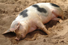 Sleeping dirty pig Stock Image