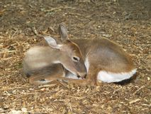 Sleeping Doe stock photography