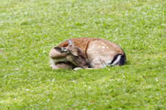 Sleeping doe Royalty Free Stock Photography