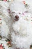 Sleeping dog. Sleeping, ridiculous toy white poodle royalty free stock photos