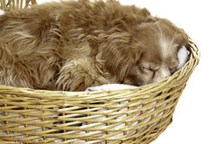 Sleeping Dog. A sleeping cockapoo is having a nap is a wicker basket, isolated against a white background Royalty Free Stock Images