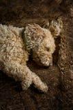 Sleeping dog. Spanish waterdog is enjoying his nap on a fur blanket Stock Image